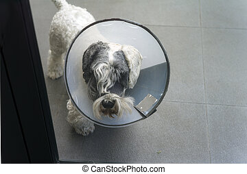 dog in protective collar