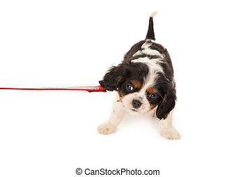 Little King Charles puppy dog protesting on a leash