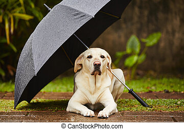 Dog in rain - Labrador retriever in rain is waiting under ...