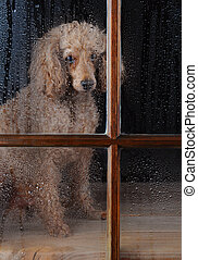 An Apricot Poodle sitting in front of a rain soaked window. Dog looks lonely and sad. Vertical format.