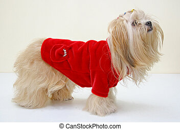 Dog in red jaket