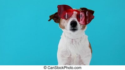 Dog in red sunglasses - Portrait of a funny dog Jack Russell...