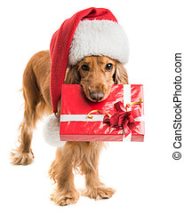 dog in santa hat with a gift mouth isolated