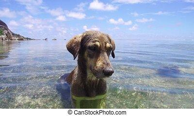 dog in sea or indian ocean water on seychelles