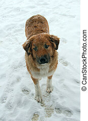 Dog in Snow - Red and white large mixed breed puppy,...
