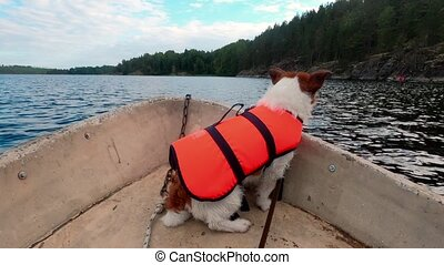 dog in the boat. Jack russell terrier in a life jacket on ...