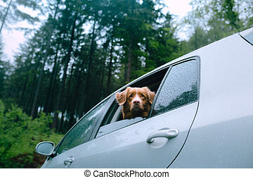 dog in the car looks out of the window. Pet travel, transportation. Nova Scotia Duck Tolling Retriever outdoors