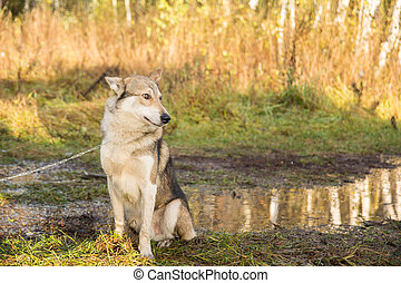 Dog in the fir forest