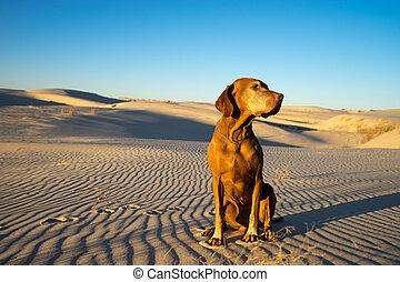 dog in the Monahans desert Texas