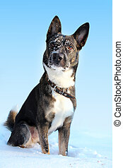 Dog in the snow on a blue background.