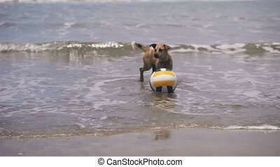 Dog in the water. On the beach in Ocean volleyball. Dog with...