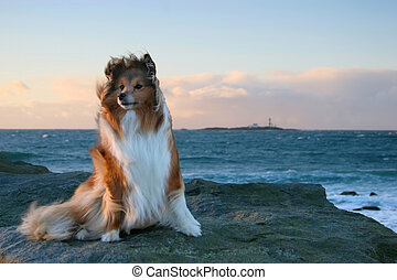 Dog in the Wind - Shetland Sheepdog in windy weather by the...