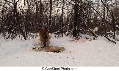 a dog in the winter forest eats carrion lying on the snow and runs away when someone chases it away