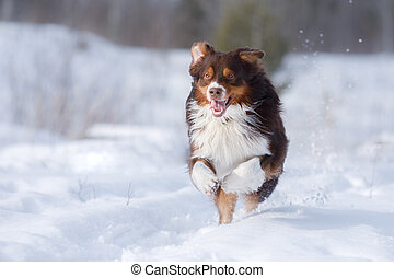 Dog in the winter in nature. Active australian shepherd running on snow