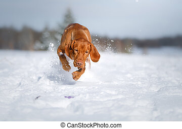 Dog in the winter in nature. Active Hungarian vizsla running on snow