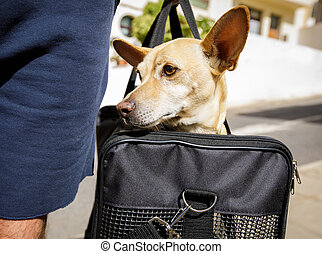 dog in transport box or bag ready to travel - chihuahua dog...