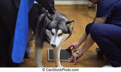 Dog in X-ray room - Doctor radiologist is preparing a dog...