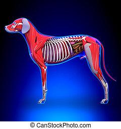 Dog Internal Organs Anatomy - Anatomy of a Male Dog Internal...