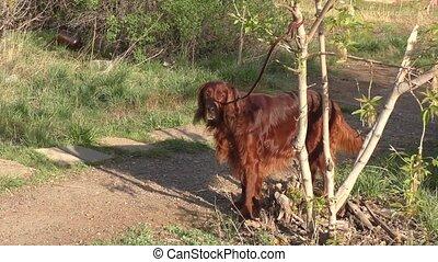 Irish setter dog on a walk in spring morning