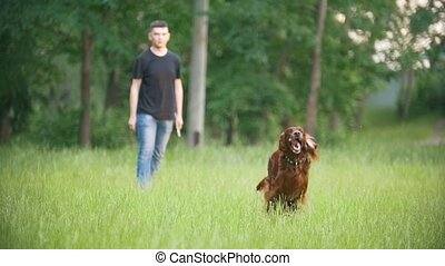 Dog Irish setter running in the park and playing with his owner - man - throws the wooden stick, slow-motion