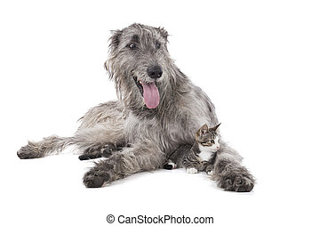 Dog (Irish wolfhound) and the kitten on a white background in the Studio