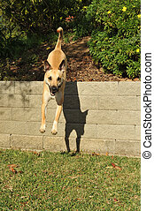 Dog is airborne jumping off a retaining wall - Jumping dog...