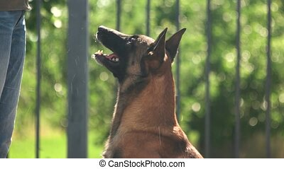 Dog is barking. Shepherd malinois dog is barking.