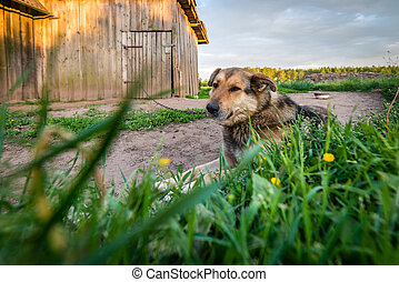 Dog is bored guarding house on the chain - Cute dog is bored...