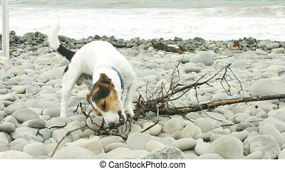 Dog is chewing a stick on the beach. - Small dog breed Jack...