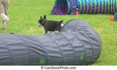 Dog is coming out of tunnel. Standard schnauzer dog is...