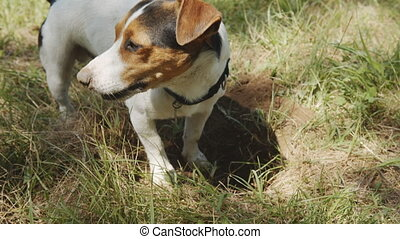 Dog is digging a hole. - Dog breed Jack Russell Terrier...