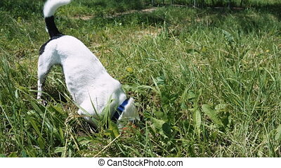Dog is digging a hole in the grass with his face into the ground.