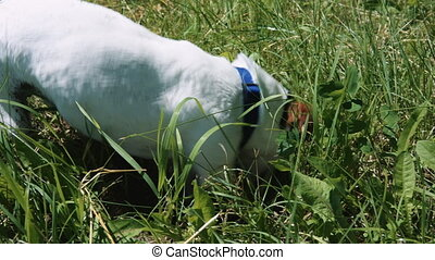 Dog is digging a hole in the grass with his face into the...