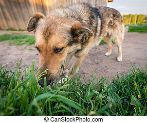 Dog is eating grass - Big dog is eating grass