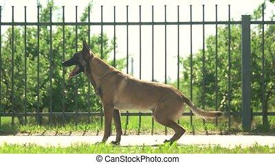 Dog is executing commands. Shepherd malinois dog is...