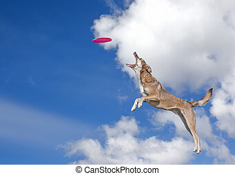 Dog is going to catch disc in the blue sky