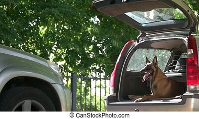 Dog is lying inside a car trunk. Belgian shepherd dog is...