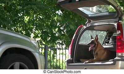 Dog is lying inside a car trunk. Belgian shepherd dog is...