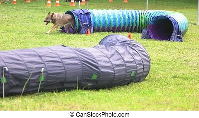 Dog is running out of a tunnel. Dog is running out of a...