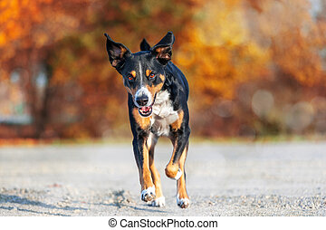 dog is running with floppy ears on an autumn walk