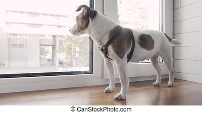 Dog is standing on the window waiting for owner