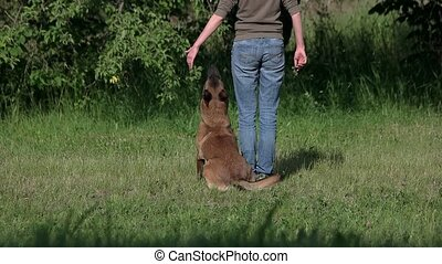 Dog is understanding and executing commands on owner's...