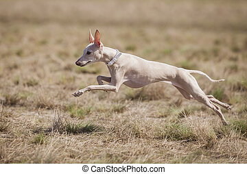 Dog Italian Greyhound pursues bait in the field. Coursing training