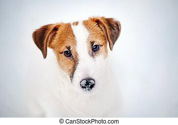 Jack russel terrier portrait in winter