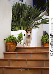 Dog jack russel terrier sitting on the steps near house