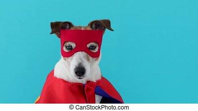 Dog jack russell super hero costume - Dog super hero...