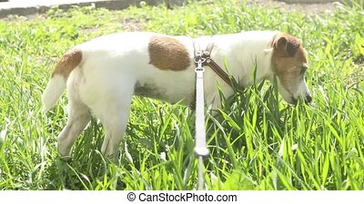 dog Jack Russell Terrier eating grass outside - dog Jack...