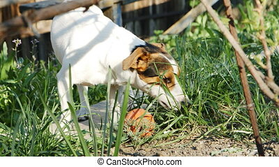 Dog jack russell terrier in the grass - Jack russell terrier...