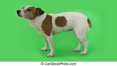 Dog Jack Russell Terrier is afraid of standing and trembling...