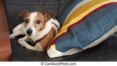 Dog Jack Russell terrier lying on the armchair in the...